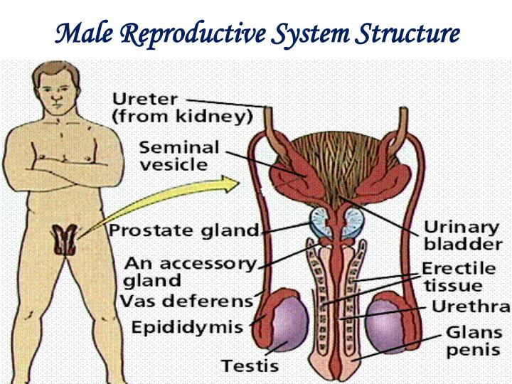 Male reproductive system structure