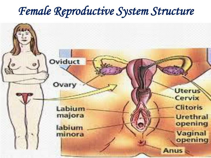 Female Reproductive System Structure