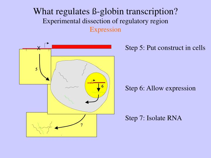 What regulates ß-globin transcription?
