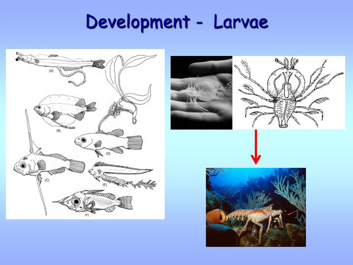 Development -  Larvae