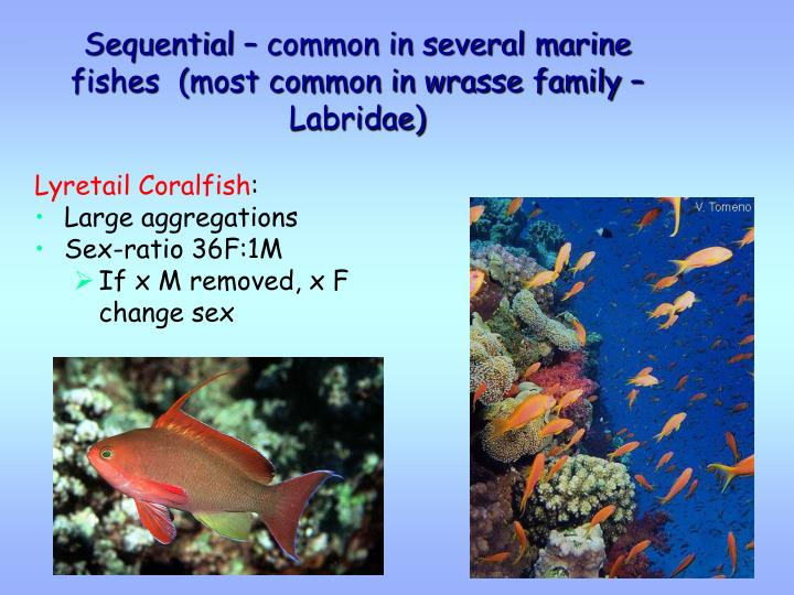 Sequential – common in several marine fishes  (most common in wrasse family – Labridae)