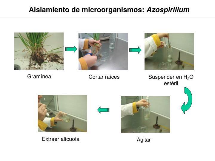 Aislamiento de microorganismos: