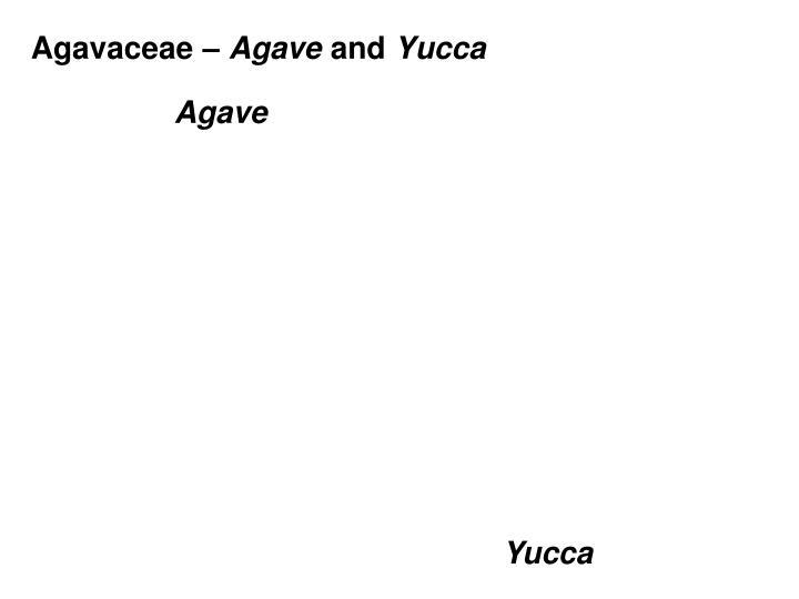 Agavaceae –