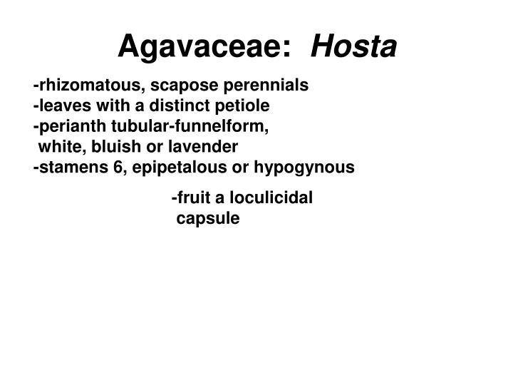 Agavaceae: