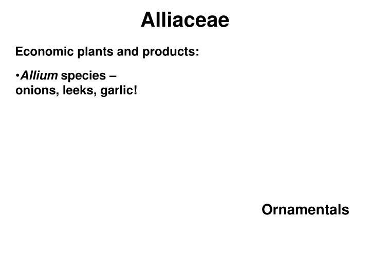 Alliaceae