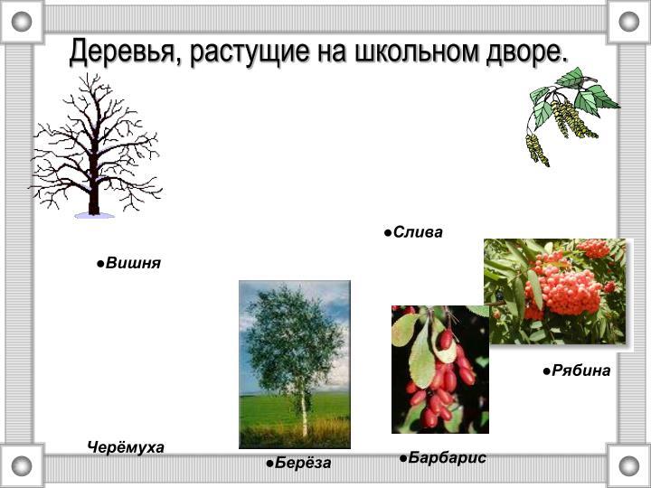 Деревья, растущие на школьном дворе.