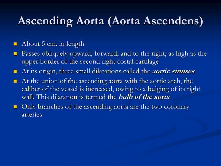 Ascending Aorta (Aorta Ascendens)