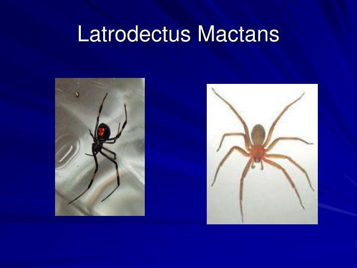 Latrodectus Mactans