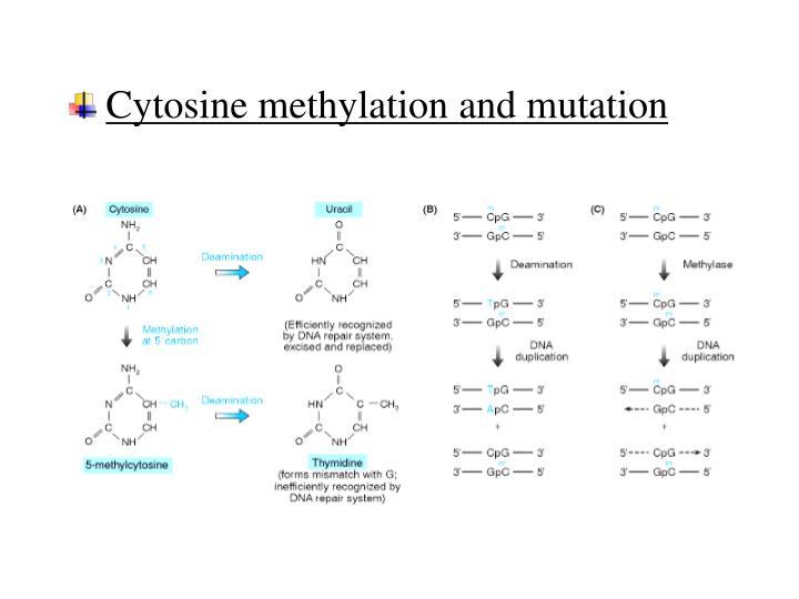 Cytosine methylation and mutation