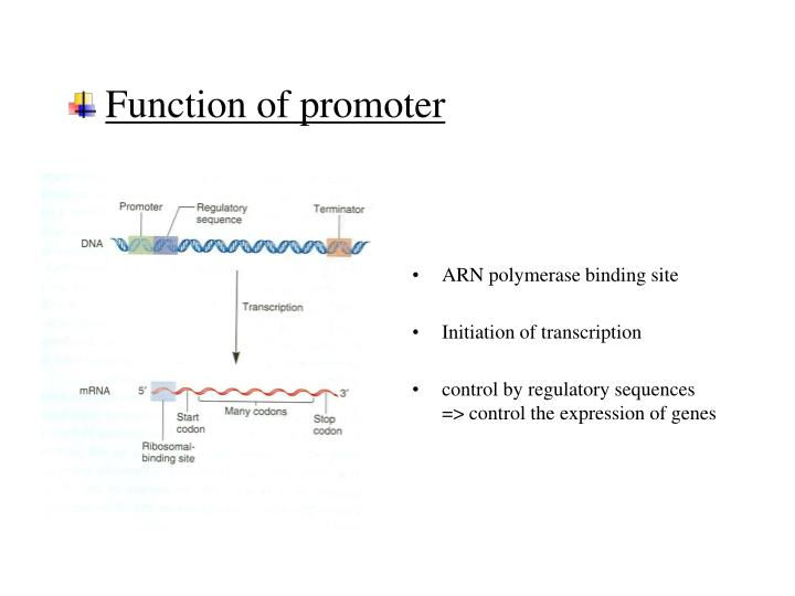 Function of promoter