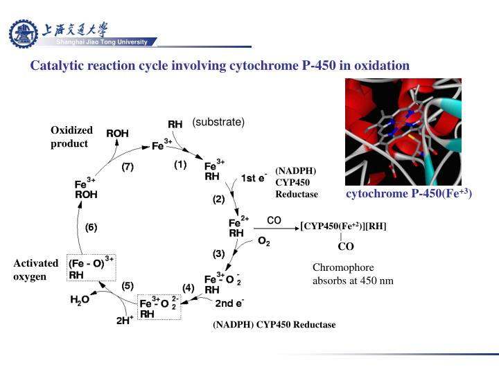 Catalytic reaction cycle involving cytochrome P-450 in oxidation
