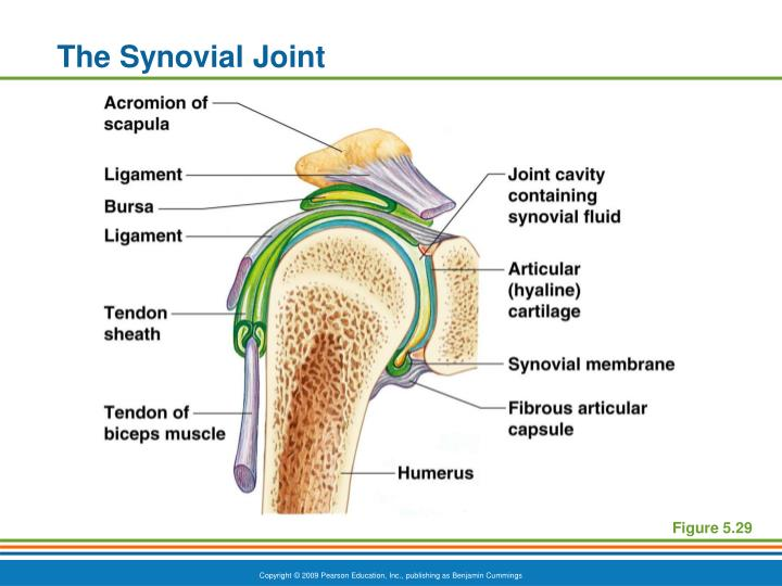 The Synovial Joint