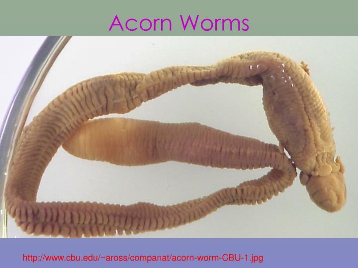 Acorn Worms