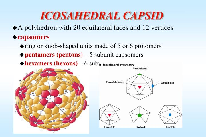 ICOSAHEDRAL CAPSID