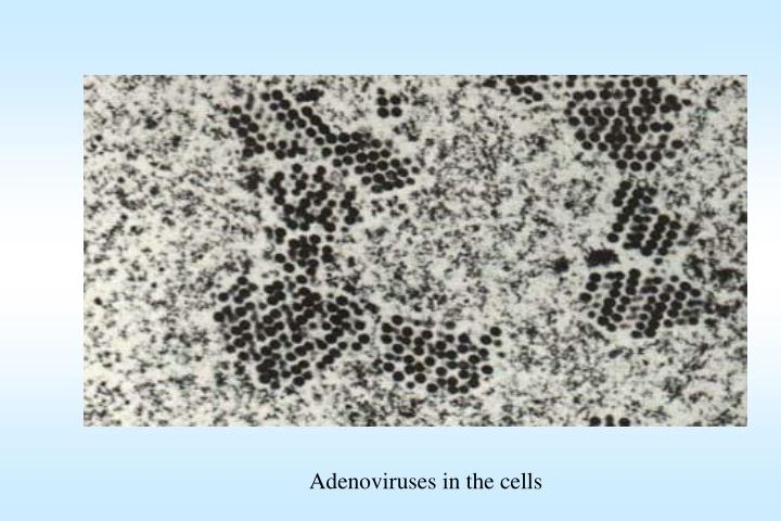 Adenoviruses in the cells