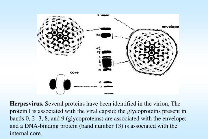 Herpesvirus.