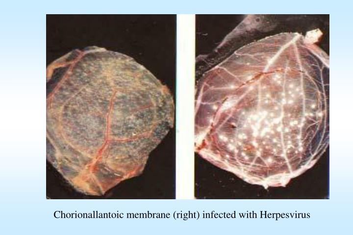 Chorionallantoic membrane (right) infected with Herpesvirus