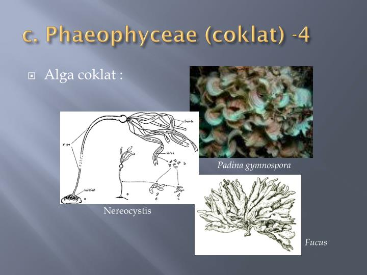 c. Phaeophyceae (coklat) -4