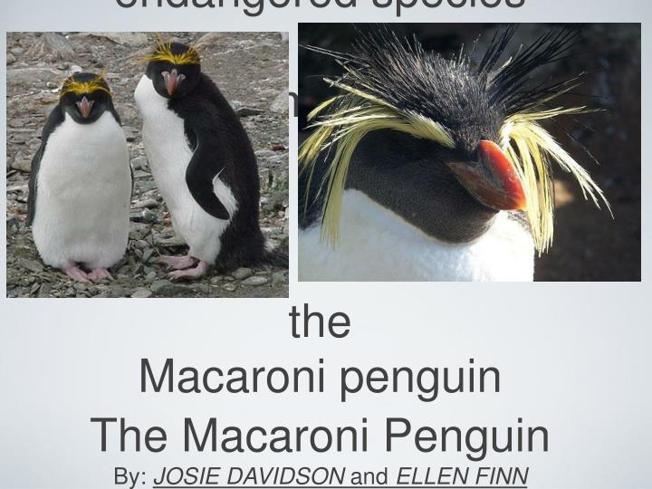 Endangered species thema mac the macaroni penguin