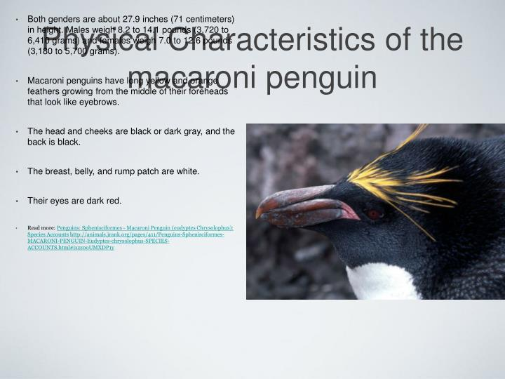 Physical characteristics of the macaroni penguin