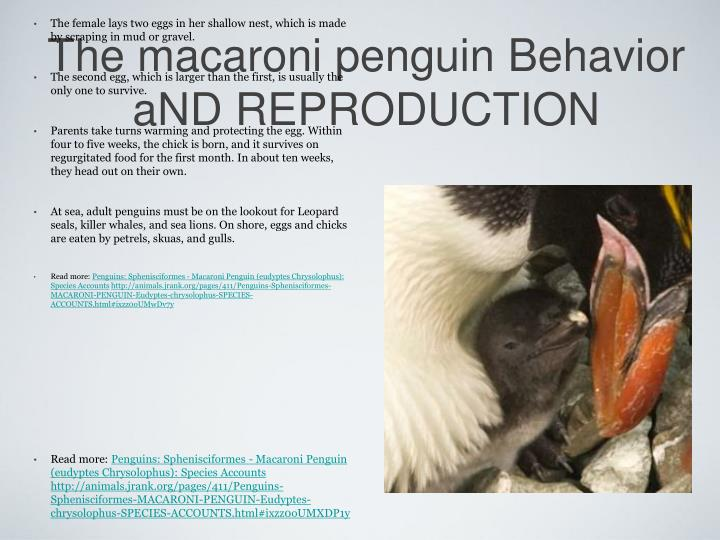 The macaroni penguin Behavior aND REPRODUCTION