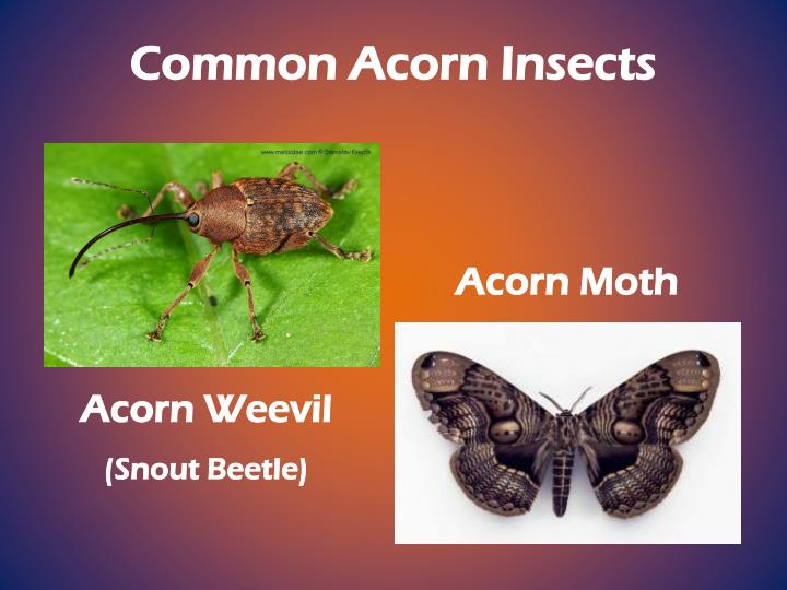 Common Acorn Insects