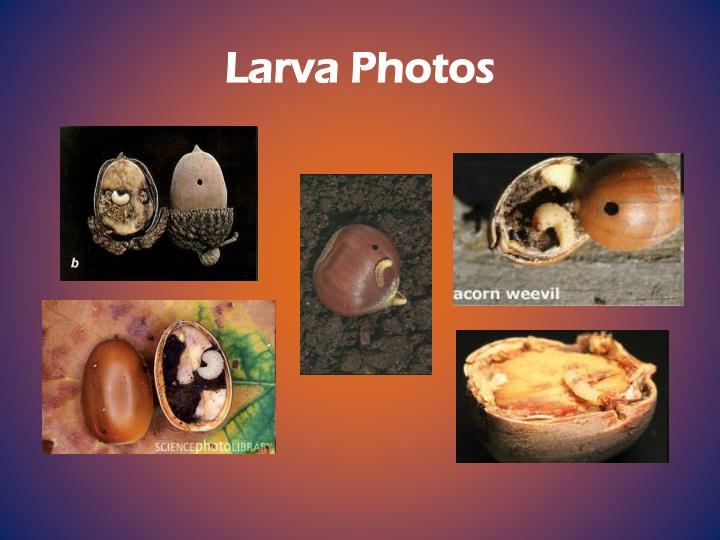 Larva Photos
