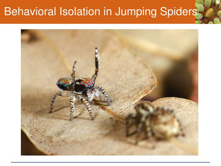 Behavioral Isolation in Jumping Spiders