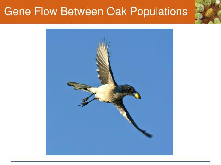 Gene Flow Between Oak Populations