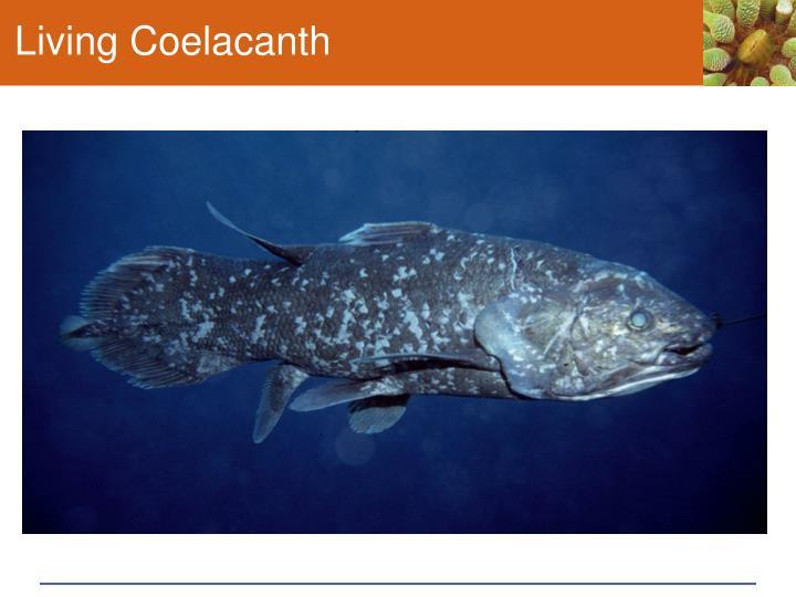 Living Coelacanth