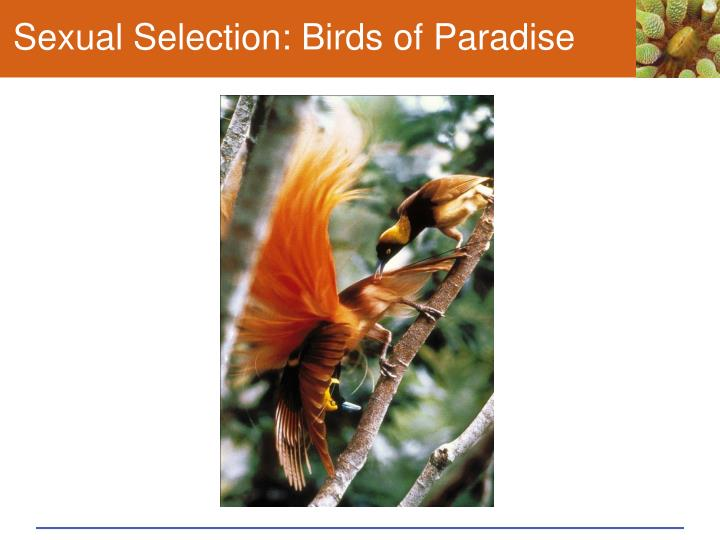Sexual Selection: Birds of Paradise
