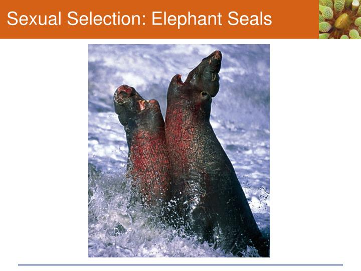 Sexual Selection: Elephant Seals