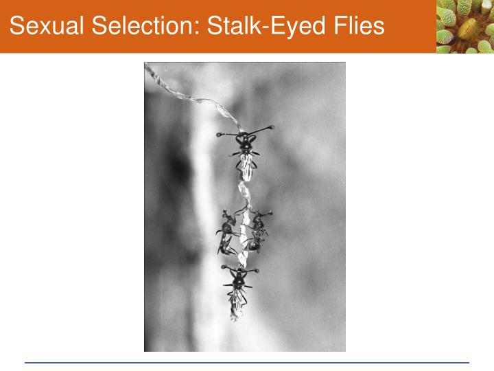 Sexual Selection: Stalk-Eyed Flies
