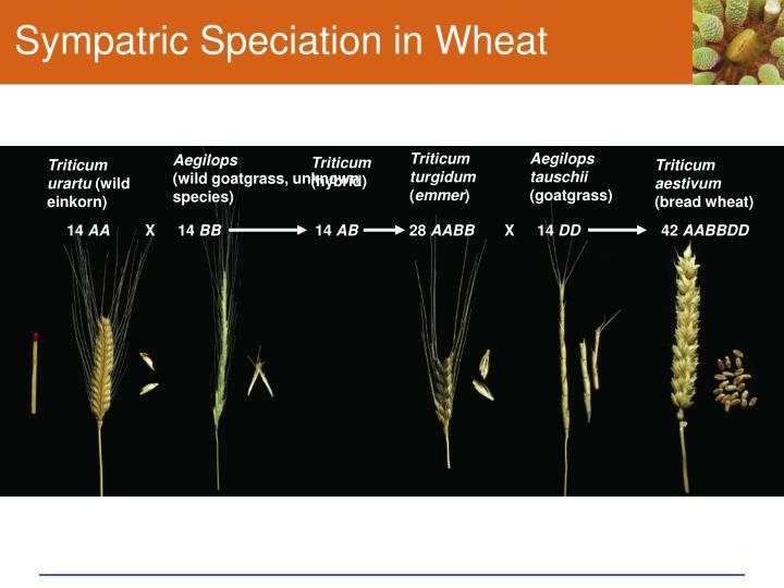 Sympatric Speciation in Wheat