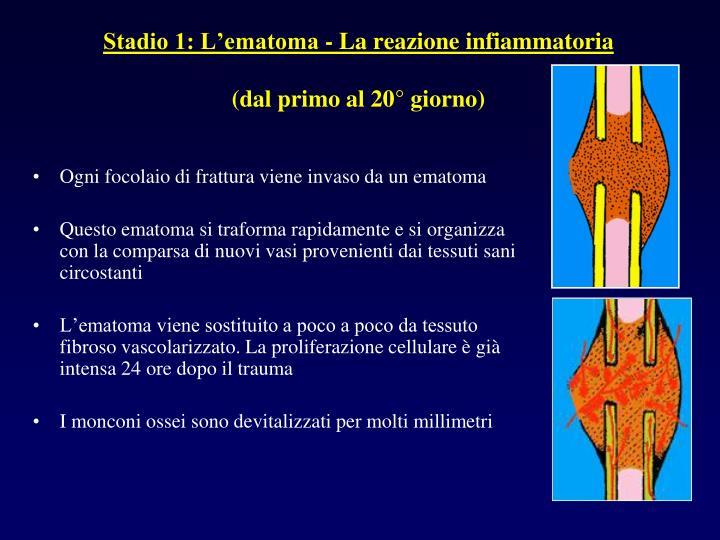 Stadio 1: L'ematoma - La reazione infiammatoria