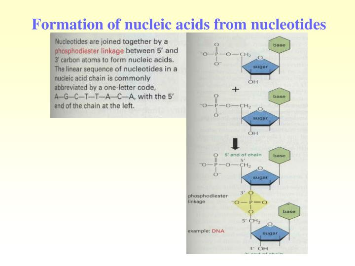 Formation of nucleic acids from nucleotides