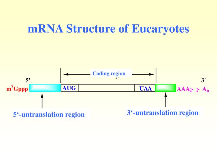 mRNA Structure of Eucaryotes