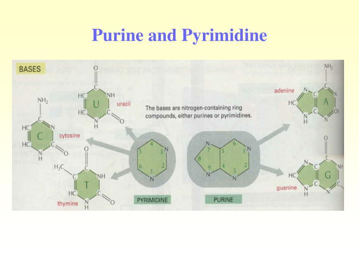 Purine and Pyrimidine