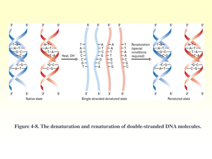 Figure 4-8. The denaturation and renaturation of double-stranded DNA molecules.
