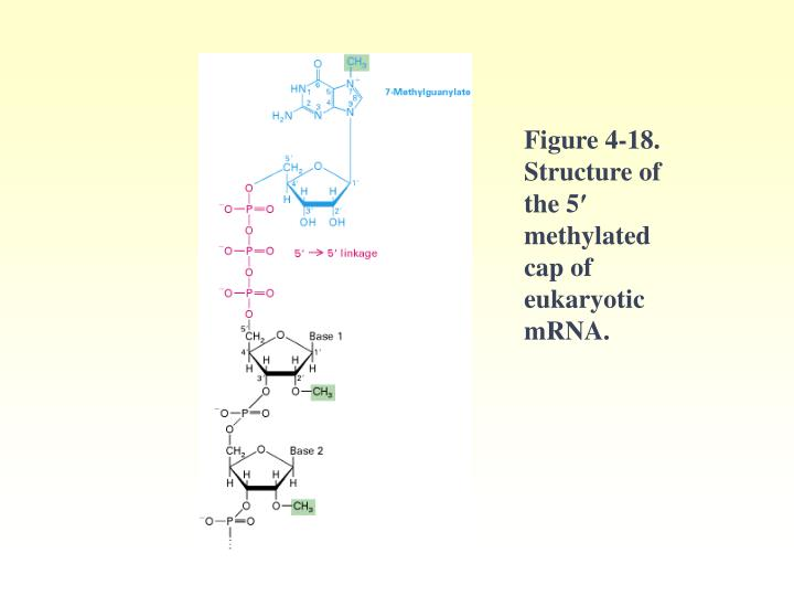 Figure 4-18. Structure of the 5′ methylated cap of eukaryotic mRNA.