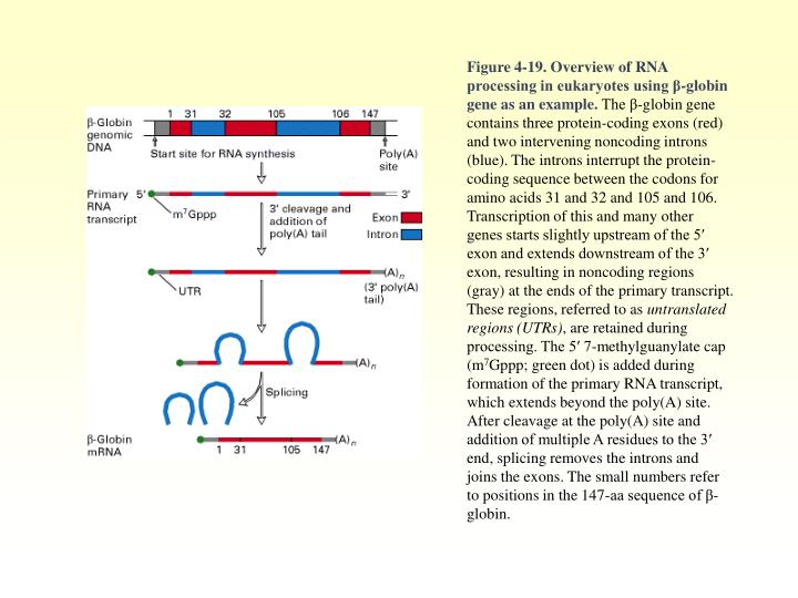 Figure 4-19. Overview of RNA processing in eukaryotes using β-globin gene as an example.