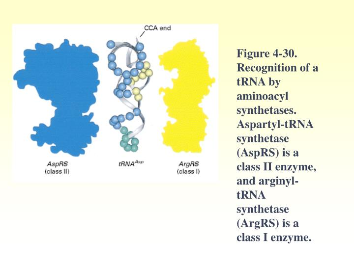 Figure 4-30. Recognition of a tRNA by aminoacyl synthetases. Aspartyl-tRNA synthetase (AspRS) is a class II enzyme, and arginyl-tRNA synthetase (ArgRS) is a class I enzyme.