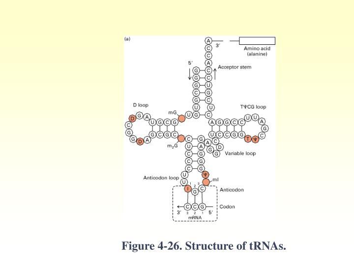 Figure 4-26. Structure of tRNAs.