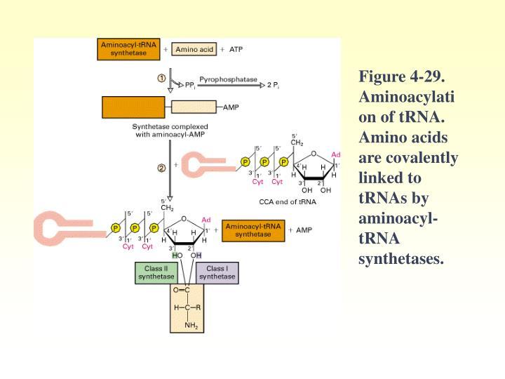 Figure 4-29. Aminoacylation of tRNA. Amino acids are covalently linked to tRNAs by aminoacyl-tRNA synthetases.