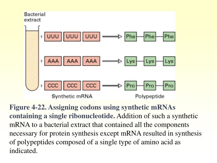 Figure 4-22. Assigning codons using synthetic mRNAs containing a single ribonucleotide.