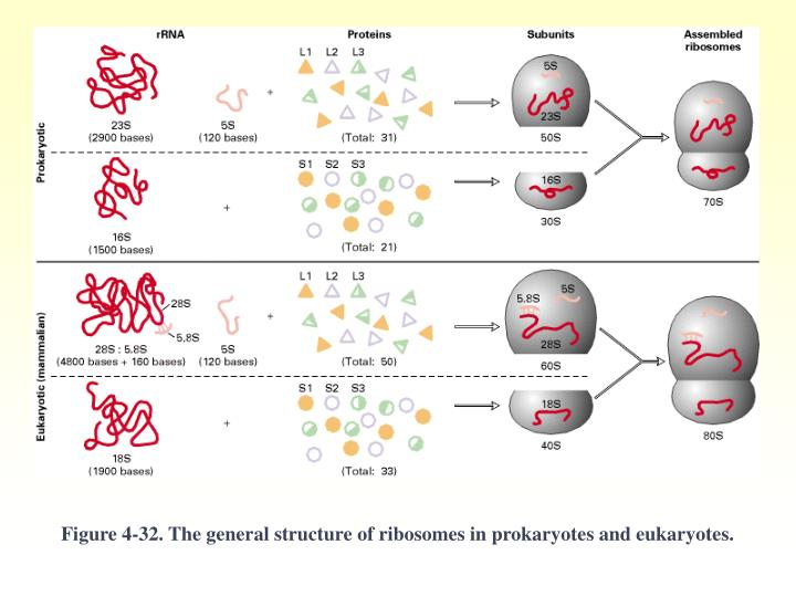 Figure 4-32. The general structure of ribosomes in prokaryotes and eukaryotes.