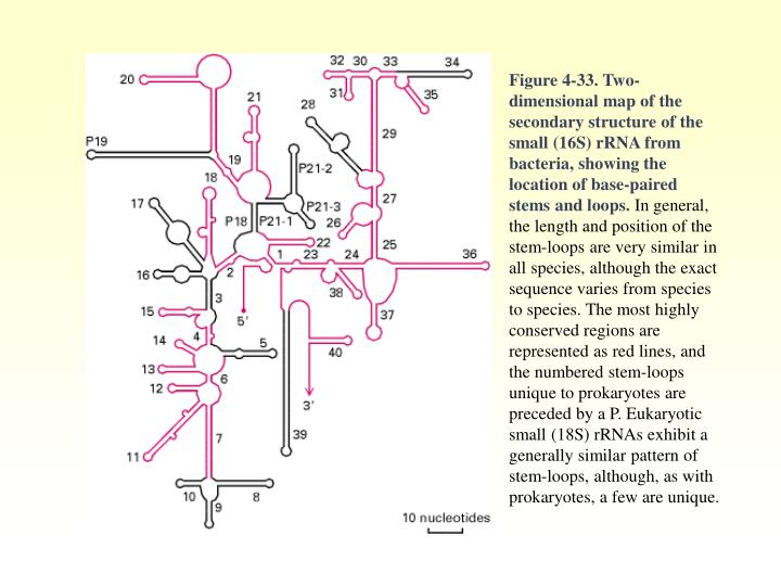 Figure 4-33. Two-dimensional map of the secondary structure of the small (16S) rRNA from bacteria, showing the location of base-paired stems and loops.