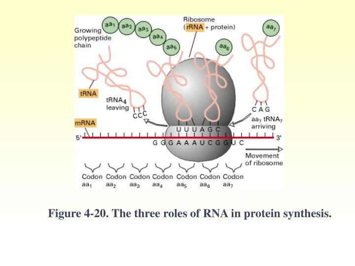 Figure 4-20. The three roles of RNA in protein synthesis.