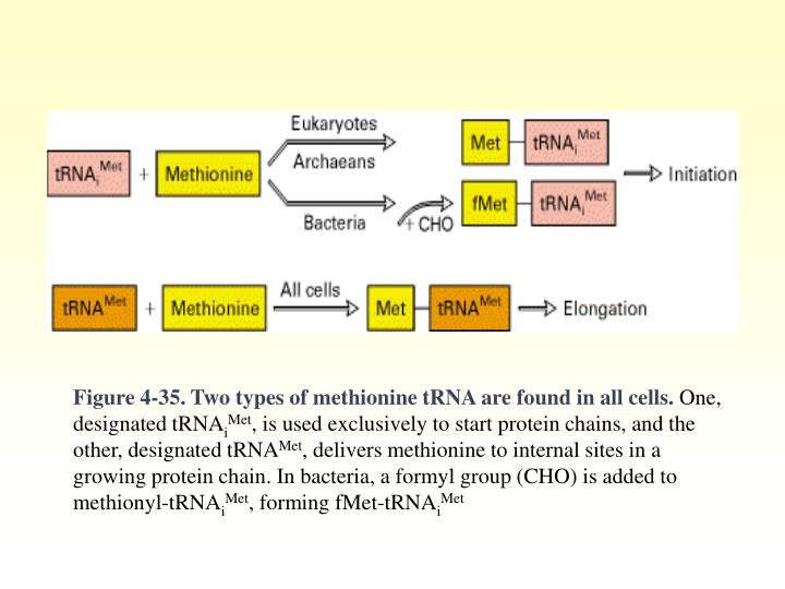 Figure 4-35. Two types of methionine tRNA are found in all cells.