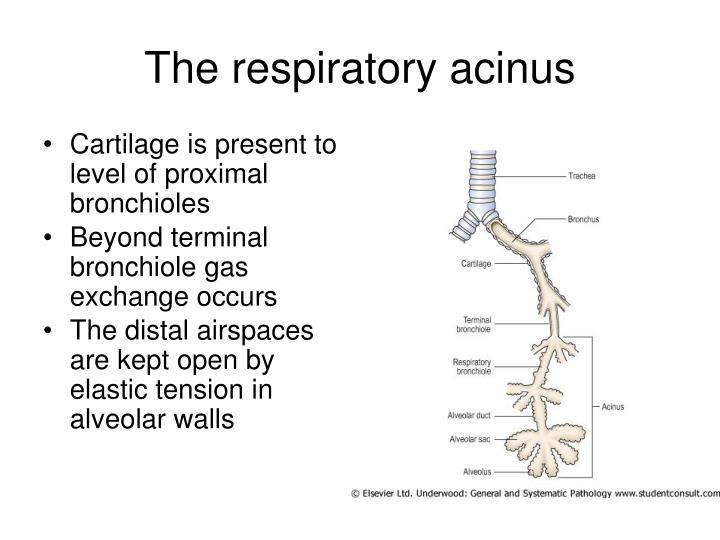The respiratory acinus